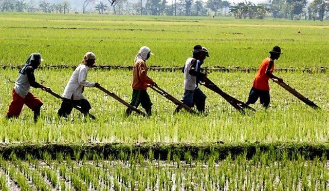 Sejahterakah Petani Padi di Jawa Timur?