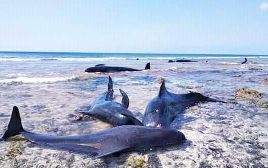 Ikan Paus Terdampar di Pulau Sabu, Penyebab & Jadi Objek Wisata Dadakan