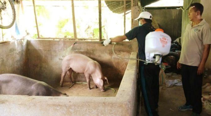 888 Babi Mati di Bali, Pemda Bali & Kementan Tangani Kasus Kematian Babi